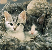 Kittens with a fur Royalty Free Stock Photo