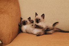 kittens Gemelli Gioco fotografie stock libere da diritti