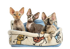 Kittens group in a pet basket basket isolated on white. Group of Devon rex kittens playing in a pet basket isolated on white Stock Image
