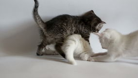 Kittens are having fun. White and black fluffy kittens are having fun. Studio shot slow motion stock video