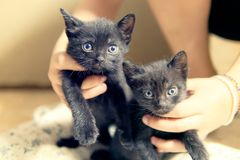 Kittens little cats with blue eyes. Kittens or little cats with blue eyes royalty free stock photos