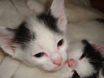 Kittens are little white and black colors. Gray attentive eyes. Pink nose, ears pricked, listening. Pets Pets Stock Images