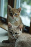 Kittens looking at the camera. 9 week old kittens looking at the photographer Royalty Free Stock Photo