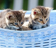 Kittens Lying in a Basket Outdoors Royalty Free Stock Photos