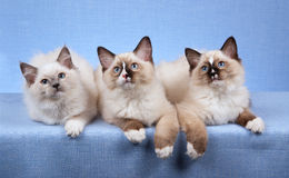 Kittens lying in a row. 3 Ragdoll kittens in a row against blue background stock image