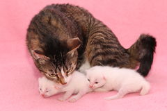 Kittens with mom Royalty Free Stock Image