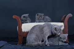 Kittens with mom cat sitting on a stool. British Shorthair kittens sitting on a vintage stool, against black background,  portrait Stock Photos