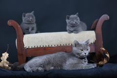 Kittens with mom cat sitting on a stool. British Shorthair kittens sitting on a vintage stool, against black background,  portrait Royalty Free Stock Image