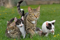 Kittens and mother. A horizontal picture of a striped grey, black and white mother cat standing in the grass with her multi colored kittens stock image