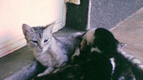Kittens with mother cat vintage footage stock video footage