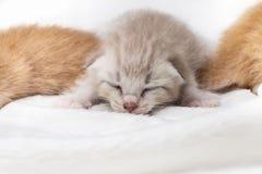 Kittens newborn sleeping on white carpet Royalty Free Stock Photos