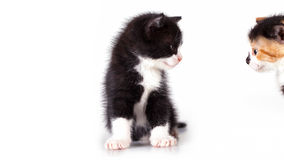 Kittens are observed. Curious kittens are observed on a white background Stock Images