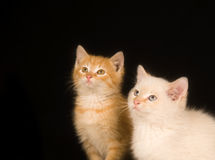 Kittens On A Black Background Stock Photos