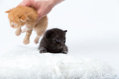Kittens. An orange and black kittens above a white pillow sham. The orange kitten is raised by a hand royalty free stock photos