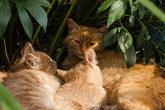 Kittens outdoors peeking out from green leaves stock photography