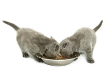 Kittens over white Royalty Free Stock Image