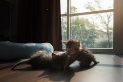 Kittens palying together Stock Photography