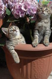 Kittens in plant pot. 2 Bengal kittens playing in a plant pot Stock Photo