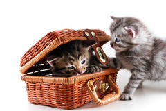 Kittens play in basket Stock Photos
