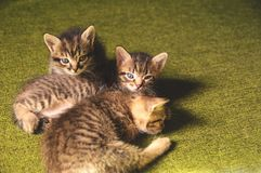 Kittens play. On a green background Stock Photos