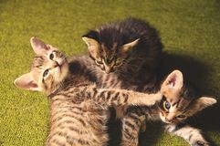 Kittens play. On a green background Stock Images