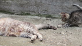 Kittens are Played with a Cat. Little homeless kittens red and gray colors are played with a cat on the street. Full HD 1920 x 1080p, 29,97 fps stock footage