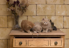 Kittens playing. Three young kittens playing on top of furniture Royalty Free Stock Photography