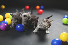 Kittens playing balls. British Shorthair kittens playing with colored balls royalty free stock photography