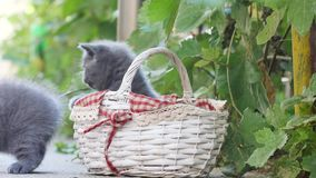 Kittens playing in a basket out in the yard stock video footage