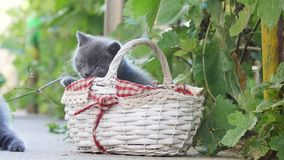 Kittens playing in a basket out in the yard stock video
