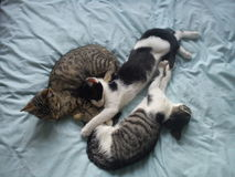 Kittens playing on a bed. Three cute baby cats playing on a bed.  One tabby,  black and white, and a tortoise shell Stock Image