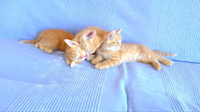 Kittens playing on a couch stock video
