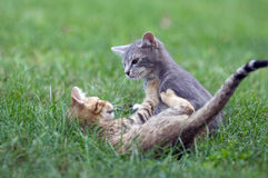 Kittens Playing In The Grass Stock Photo