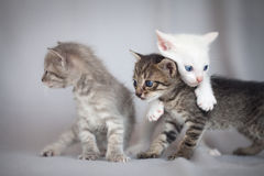 Kittens playing Stock Image