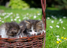 Kittens playing outdoor Royalty Free Stock Image