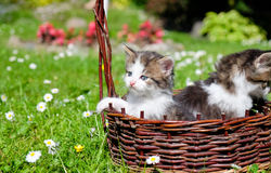 Kittens playing outdoor Stock Images