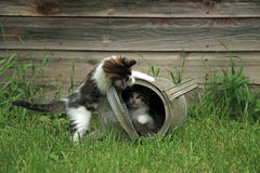 Kittens playing peek a boo. In an old oil can stock image