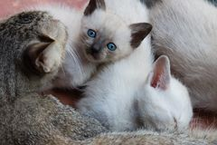 Kittens and mom cat stock photos