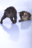 Kittens playing together Stock Images