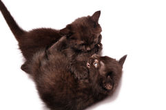 Kittens playing together Stock Photos