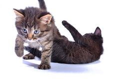 Kittens playing together Royalty Free Stock Images