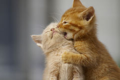 Free Kittens Playing . Two Young Cats Playfighting Outdoors. Stock Photography - 35828532