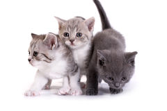 Kittens plays on a white background Stock Image