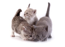 Kittens plays on a white background Stock Photography
