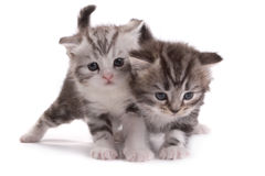 Kittens plays on a white background Royalty Free Stock Images