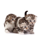 kittens plays on a white background Royalty Free Stock Image