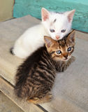 Kittens on Porch. Two cute white and brown kittens playing on a porch Stock Photo