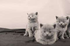 Kittens portrait, black background,. Newly born British Shorthair kittens portrait, close-up view, on a black and white background, copyspace royalty free stock photos