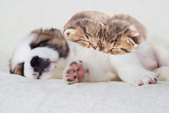 Kittens and puppy sleeping Royalty Free Stock Image