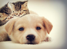 Kittens and puppy sleeping. In retro style Royalty Free Stock Images